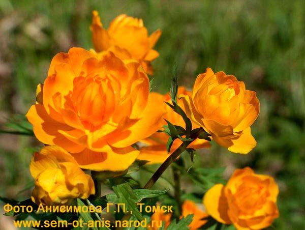 Цветы купальница картинки 4